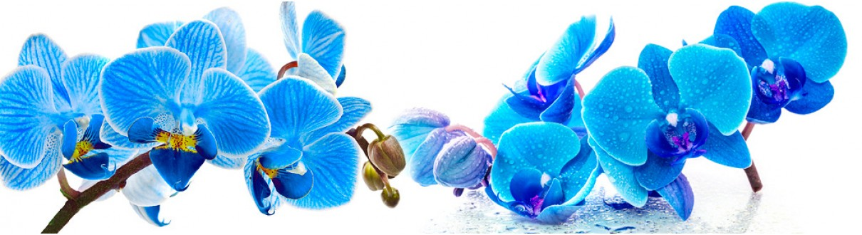 skinali_35_78_orchid_blue_white_backgrou